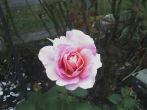 rose08a